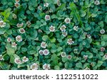 A Lawn Of Clover