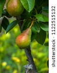 growing pears on a branch.pears ... | Shutterstock . vector #1122515132