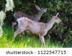 View Of Young Deer Grazing In...