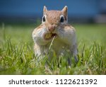 A Chipmunk's Cheeks Are Filled...
