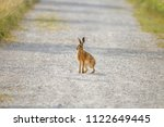 Stock photo a young hare hops on a gravelly field path between meadows 1122649445