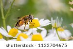 Eristalis Tenax Is A Hoverfly ...