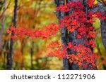 Autumn Color Of Japanese Maple...