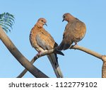 mated pair of laughing doves... | Shutterstock . vector #1122779102