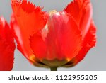 red tulip close up  | Shutterstock . vector #1122955205