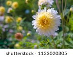 White And Yellow Dahlia On A...