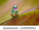 lampornis calolaemus  purple...   Shutterstock . vector #1123025912