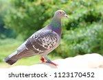 homing pigeon  racing pigeon or ... | Shutterstock . vector #1123170452