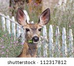 Mule Deer Eating Weeds In A...