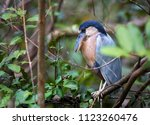 boat billed heron  cochlearius... | Shutterstock . vector #1123260476