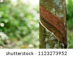 hevea brasiliensis that was cut ... | Shutterstock . vector #1123273952