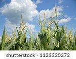young corn tassels close up... | Shutterstock . vector #1123320272