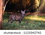 Young Wild Hog Deer  Standing...