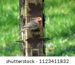 male house finch looks around...   Shutterstock . vector #1123411832