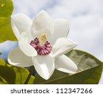 Magnolia Siboldii Flower