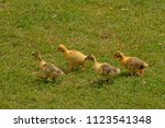 Four Cute Fluffy Yellow Goose...