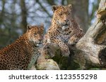 sri lankan leopards  panthera... | Shutterstock . vector #1123555298