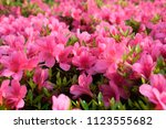 Beautiful japanese pink azalea...