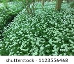 the valley of the garlic forest ...   Shutterstock . vector #1123556468