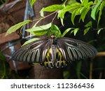 Golden Birdwing butterfly on green leaves - stock photo