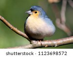 close up of the finch in front...   Shutterstock . vector #1123698572
