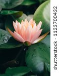 beautiful pink lotus flower in...   Shutterstock . vector #1123700432