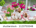 Stock photo two shih tzu dogs sit on the lawn in the garden on a background of flowers 1123703348
