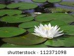 Closeup White Lotus Flower In...