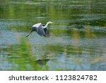 Wild Grey Heron  Ardea Cinerea  ...