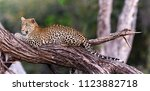 Young Female Leopard Dawn Botswana - Fine Art prints