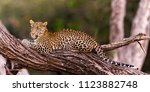 young female leopard at dawn ... | Shutterstock . vector #1123882748
