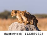 lion cubs in botswana | Shutterstock . vector #1123891925