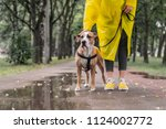 Stock photo walking the dog in yellow raincoat on rainy day female person and staffordshire terrier dog on a 1124002772