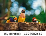 the lady gouldian finch ...   Shutterstock . vector #1124082662