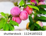Red Plum Fruits On Branch With...