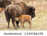Female Wood Bison  Subspecies...