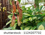 close up of the carnivorous...   Shutterstock . vector #1124207732