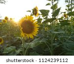 close up of the sunflower in... | Shutterstock . vector #1124239112