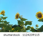 close up of the sunflower in... | Shutterstock . vector #1124239115