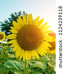 close up of the sunflower in... | Shutterstock . vector #1124239118