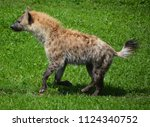 Small photo of Spotted hyena (Crocuta crocuta), also known as the laughing hyena, is a species of hyena, currently classed as the sole member of the genus Crocuta, native to Sub-Saharan Africa.