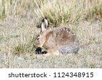 fauna of tibet. tibetan curly... | Shutterstock . vector #1124348915