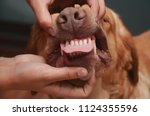 sharp teeth of a dog. the jaw... | Shutterstock . vector #1124355596