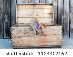 funny red pig sits in chest....   Shutterstock . vector #1124402162