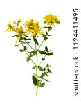 branch of st. john's wort... | Shutterstock . vector #1124411495