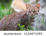 rusty spotted cat stand in... | Shutterstock . vector #1124471495