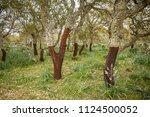 cork oak forest   quercus suber ... | Shutterstock . vector #1124500052