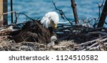 Bald Eagle Mother Looks Down At ...