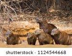 Herd Of Capybara On Riverbank...