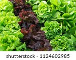 lettuce green fresh plant salad ... | Shutterstock . vector #1124602985